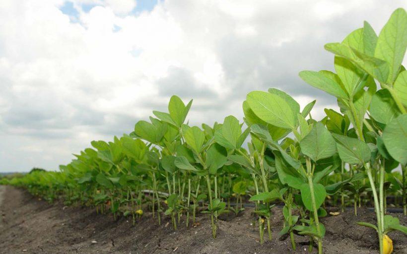 """Productores en leguminosas esperan el grano """"Huasteca 700"""""""