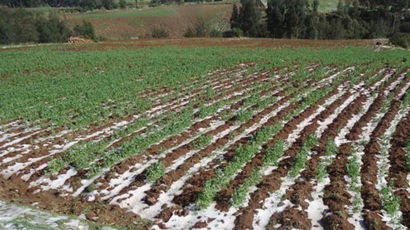 Debastados productores por condiciones climáticas